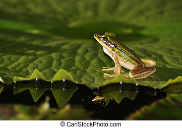 Green Paddy Frog with glimps of a mirror in the water -...