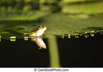 Green Paddy Frog with mirror on waterlily - Green Paddy Frog...