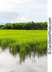 Green paddy rice in field
