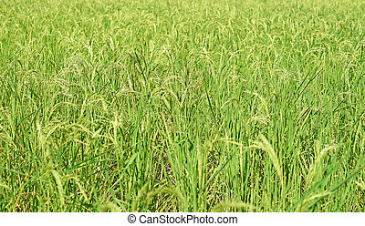 paddy rice in field