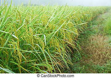 Green paddy rice in the field rice background