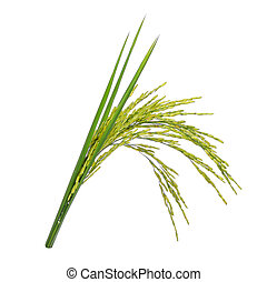 green paddy rice isolated on white background