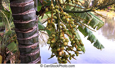 Green Palm Seeds on the Tree