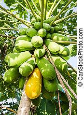 green papaya growing on a tree