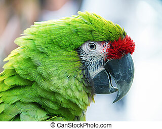 Green Parrot isolated on blurred background