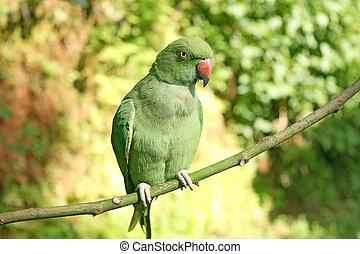 green parrot Rose-ringed indian Parakeet