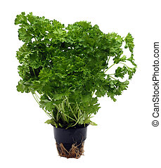 green parsley bunch in pot isolated on white