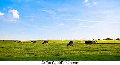 green pasture with cows - green pasture with grazing cows...
