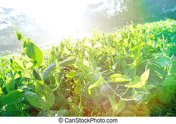 green pea crops n in growth at vegetable garden