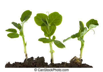 green pea germinating and growing - New life - three pea...