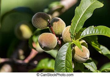 Green peach fruit on the tree