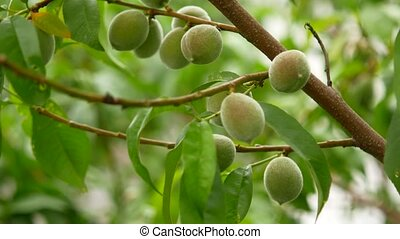 Green peaches on a branch among fresh foliage, close-up