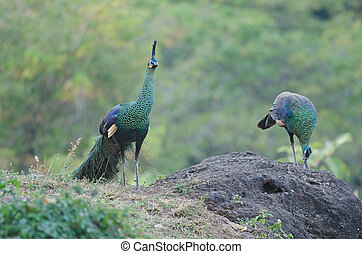 Green peafowl, Peacock in nature