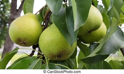 green pears grow on a branch. fruit harvest in the home...
