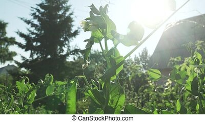 Green peas are ripening in garden stock footage video -...