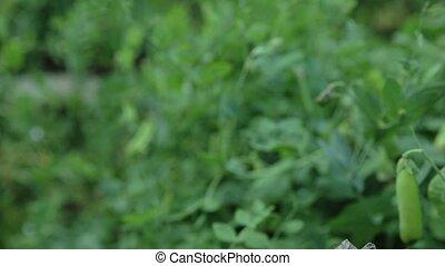 Green peas in garden. - Green peas on a bush in the garden.