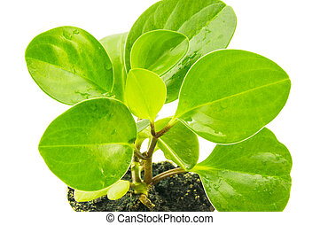 Green peperomia isolated on white background