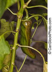 Green pepper grows on a bush