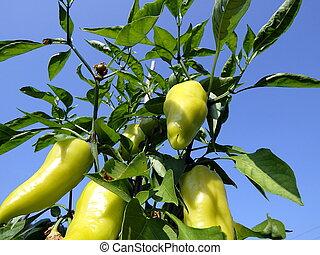 Green pepper in the garden