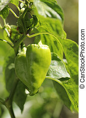 green pepper on the bush in nature