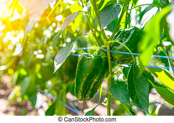 green peppers grown in a greenhouse on an organic farm