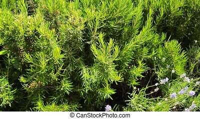 Green perennial rosemary grass in the garden, delicious...