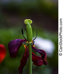 green pestle on a faded red tulip