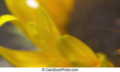 Green Phasmid on Sunflower Head - Handheld, panning, close...