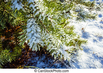 green pine branch covered with snow in the end of November