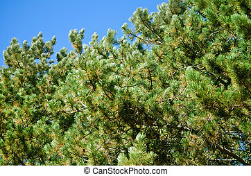 Green Pine Branches Against The Blue Sky