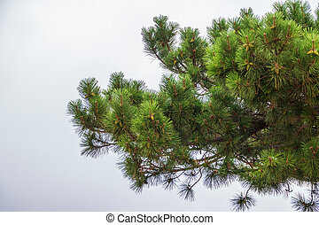 Green pine branches with needles and fresh cones against a cloudy sky. Background image with copy space.