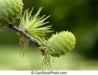 Green pine cone - Young green larch cone on a branch in the ...