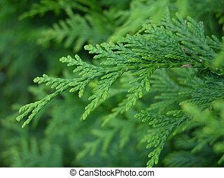 green pine leaf