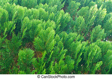 green pine leaf texture and background, close up
