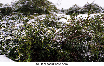 Green pine tree branch with snow