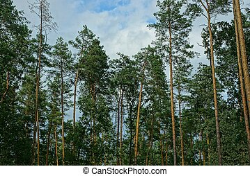 green pine trees against the sky