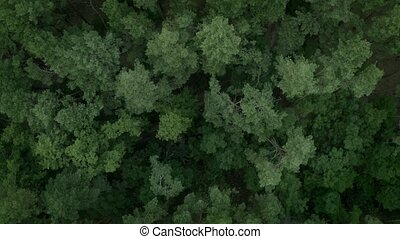 Green Pine trees forest high from above, top view