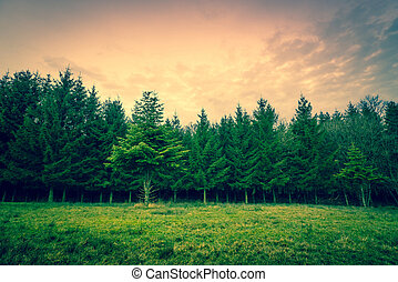 Green pine trees on a row