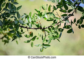Green Pistachio leaves - Green wild Pistachio leaves,...
