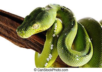Green pit viper snake wild animal