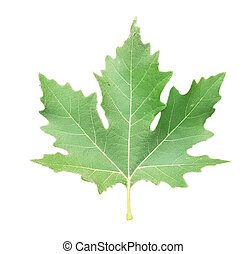 green plane tree leaf isolated for background