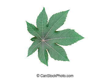 Green plane tree, sycamore leaf isolated