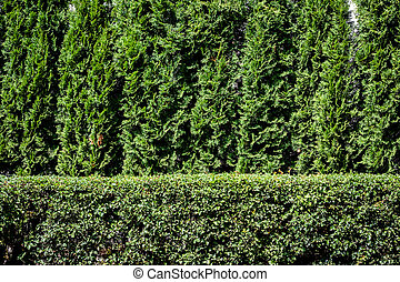 Green plant background - Green hedge and green trees...