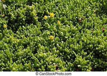 green plant background- sedum rubrotinctum
