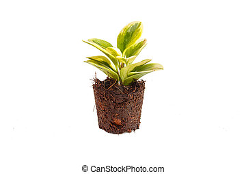 Green plant in soil isolated on white background
