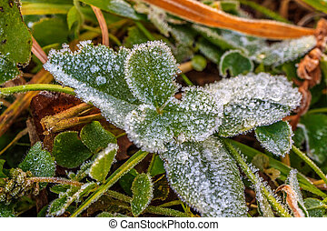 green plant in the fall where large drops of frozen dew