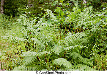 Green Interrupted Fern, Osmunda claytoniana, growing green in forest being wet after rain