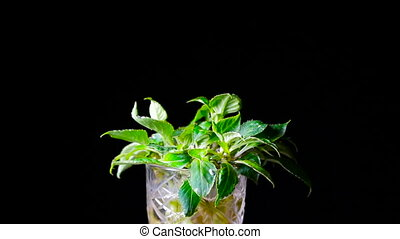 Green Plant on a black background.