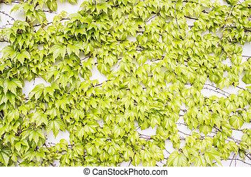 Green Plant on Wall - Parthenocissus tricuspidata