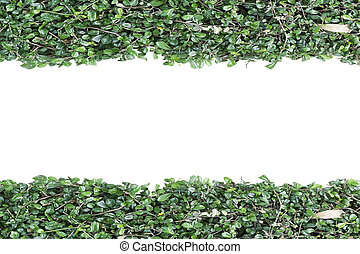 Green plant wall isolated on white background